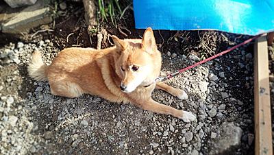 大工さんの犬